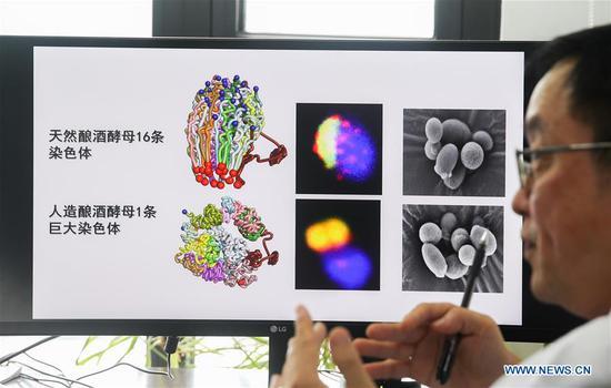科学家进行基因手术以制造出首个单染色体酵母