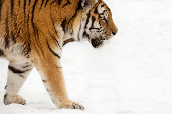 An Amur tiger walking in the snow is caught on a camera set up by the WWF. (Photo provided to China Daily)