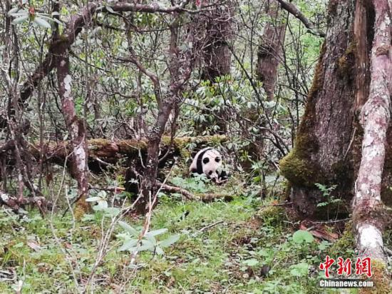 Dogs to be vaccinated to protect wild pandas from diseases