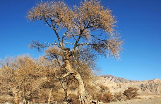 A Tamarix tree in Tongde county, Hainan Tibetan autonomous prefecture, Qinghai Province. (Photo/people.com.cn)