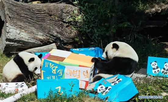 Giant panda Fu Ban (L) and its mother Yang Yang are seen with gift packages at the Schonbrunn Zoo in Vienna, Austria, on Aug. 7, 2018. The twin pandas Fu Feng and Fu Ban celebrated their second birthday party with their mother on Tuesday by receiving birthday gifts, packages of potatoes, carrots and special bamboo shoots. (Xinhua/Liu Xiang)