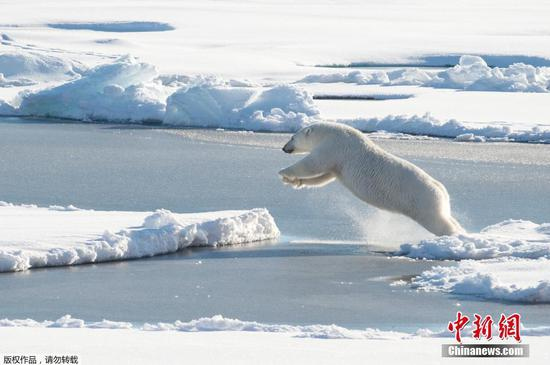 This U.S. Coast Guard photo shows a polar bear observed off Coast Guard Cutter Healy's stern, on Aug. 23, 2015, while the cutter is underway in the Arctic Ocean in support of Geotraces. (Photo/Agencies)