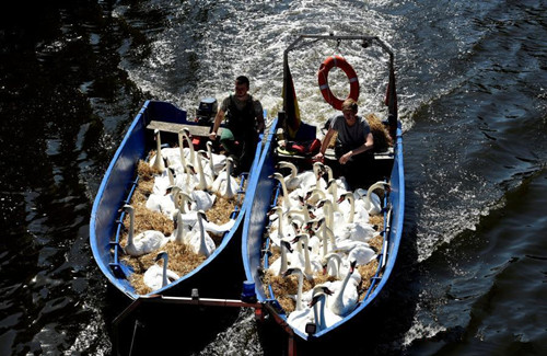 Swans relocated to escape from heatwave in Germany