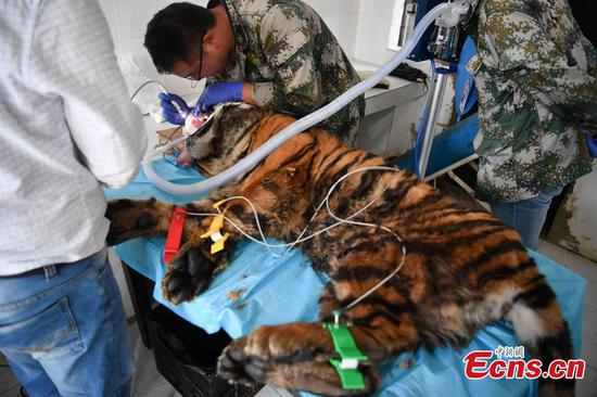 Anesthetized tiger has teeth cleaned in Yunnan