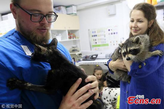 Yesha the Raccoon, employee of Roston-on-Don animal hospital
