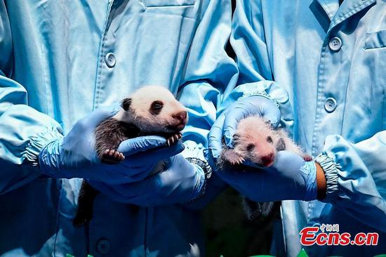 Giant panda cubs take physical examination in Chimelong Safari Park