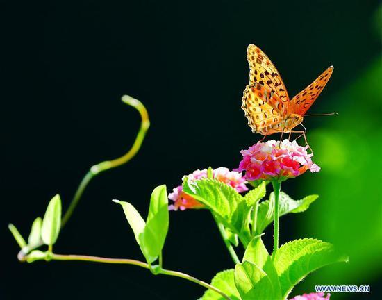 蝴蝶和马lan丹花在福州温泉公园