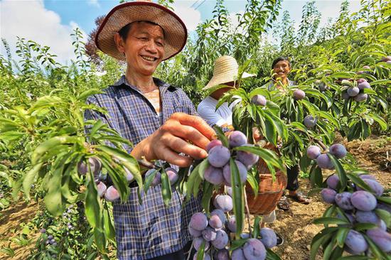 Farmers harvest plums in Guizhou