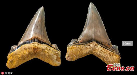 Fossils from ancient 'megatooth' shark found at Australian beach
