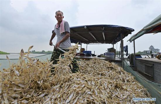 安徽洪泽湖的短颚tap鱼