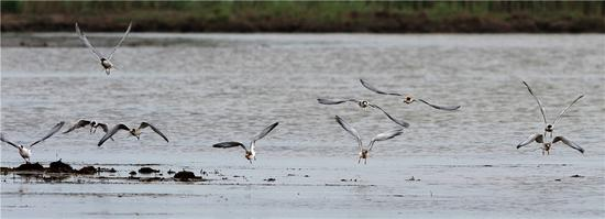 Birds hunt for food in the Chongming Dongtan National Nature Reserve in Shanghai. It is the largest wintering site for migratory birds in China, with about 1 million migratory birds stopping there every year. (GAO ERQIANG/CHINA DAILY)