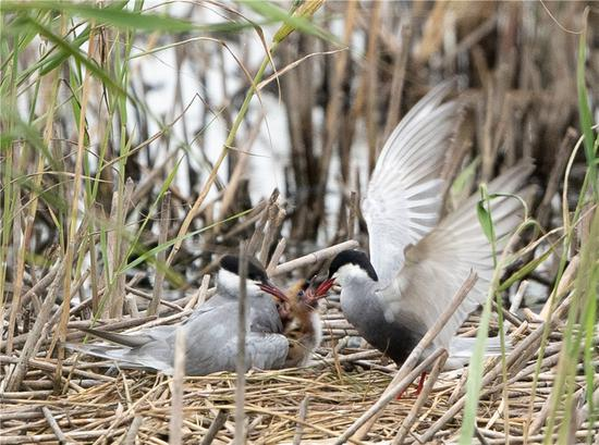 Birds feed a hatchling in the reserve. (Photo/China Daily)