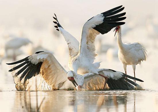 志愿者种莲花来喂养濒临灭绝的白鹤