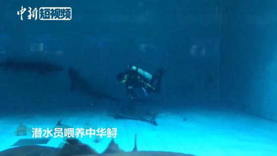 Feeding time for rare Chinese sturgeons