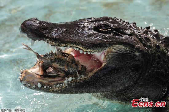 Muja:世界上最古老的美洲鳄