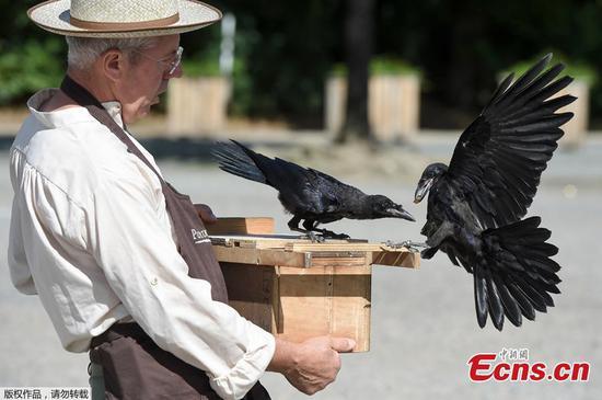 训练过的乌鸦在法国公园捡起烟头和垃圾