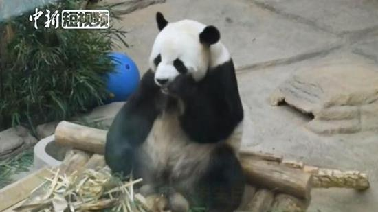 North China panda celebrates 12th birthday