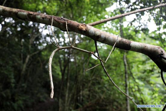Wild stick insect seen in Dayaoshan state-level nature reserve in Guangxi