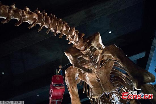 Massive titanosaur receives cleaning in New York
