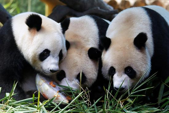 Hundreds of child triplets from throughout China celebrate the fourth birthday of the world's only giant panda triplets-Meng Meng, Shuai Shuai and Ku Ku-on Sunday at Chimelong Safari Park in Guangzhou by offering the trio fresh bamboo. (Photo/Xinhua)