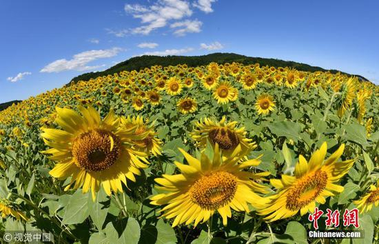 Two million sunflowers cover Japan town for Sunflower Festival