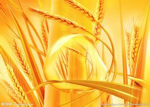 Scientists map out bread wheat genome