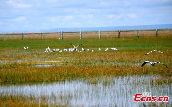 Qinghai Laike home to 200,000 migratory birds