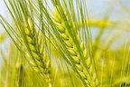 Wheat genome sequence completed with Chinese contribution