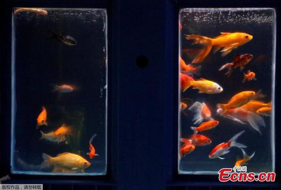 Paris aquarium offers refuge for abandoned goldfish