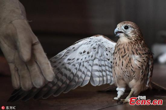 Amputee kestrel assisted with prosthetic foot in Russia