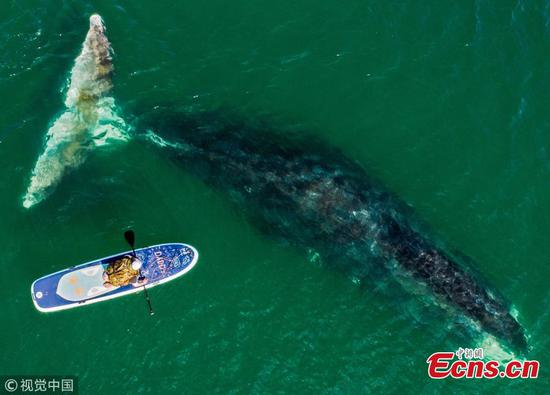 Massive bowhead whales in Russia's Vrangel Bay