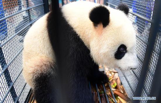Giant panda Chu Xin waits for health check in Changchun, capital of northeast China's Jilin Province, Aug. 21, 2018.  (Xinhua/Lin Hong)