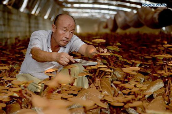 Lingzhi mushroom cultivation increases local farmers' income in N China's Hebei