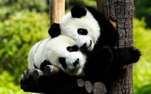 14 'ambassadors' named to promote giant panda culture