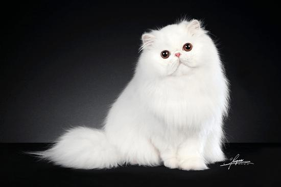 A participant in the CFA cat show at Pet Fair Asia 2018. /Photo via petfairasia.com