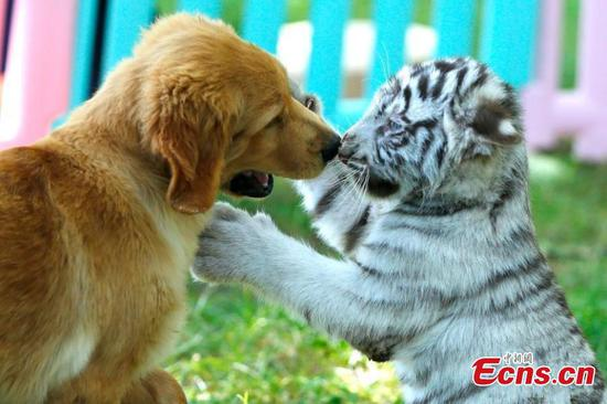 White tiger cub and puppies best friends