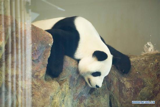 Panda Fu Ni rests during its birthday in Adelaide Zoo, Adelaide, Australia, on Aug. 26, 2018. In the chorus of