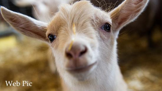 Goats can distinguish happy faces from angry ones, new research says