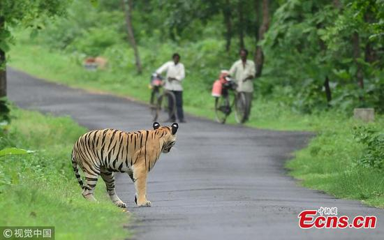 Bengal tiger unaffected by cyclists in reserve