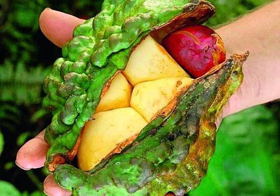 Containing caffeine, kola nut was chewed as a stimulus as coffee beans by the local West Africans.