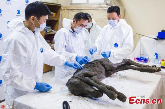 Scientists find perfectly preserved carcass of ancient horse in Siberia