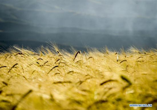 Wheat field in China's Xinjiang