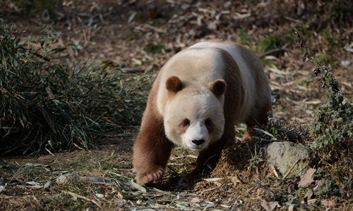 Rare brown panda fails in first attempt at natural copulation, despite efforts