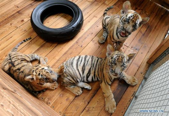 Three South China Tiger cubs play at breeding base in Suzhou