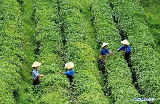 Farmers pick tea leaves in Mazhai Village of Danzhai County, southwest China's Guizhou Province, July 2, 2018. The county changed management mode of tea plantation to promote the poverty relief work. (Xinhua/Yang Wenbin)