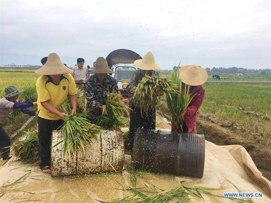 Farmers thresh rice stalks at a super hybrid rice demonstration base in Datun Township in the Gejiu City, southwest China's Yunnan Province, Sept. 2, 2018. The latest output of three plots at a super hybrid rice demonstration base located in Datun Township has set a new world record by reaching an average of 1,152.3 kg per mu (about 0.07 hectares), local authorities said Monday. (Xinhua/Wang Haixia)