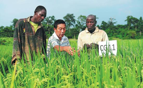 A Chinese agricultural expert introduces a new species of rice to farmers in Cote d'Ivoire. China has sent technicians to the country to back its agricultural modernization. (Photo:Ding Haitao / Xinhua)