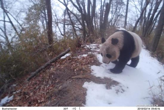 Foresters devote their lives to guarding pandas' homeland