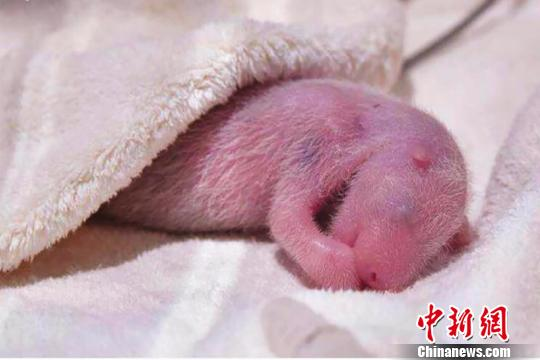 This file photo shows a giant panda cub born at the Adventure World Zoo on Aug. 14. (Photo/China News Service)