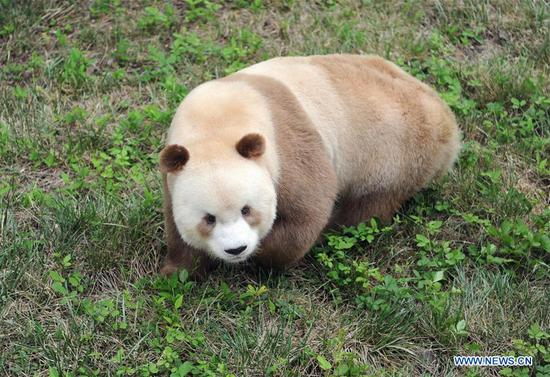 Rare brown and white giant panda seen in Xi'an